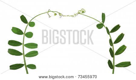green pea tendrils isolated on white background