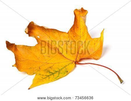 Yellow Dried Autumn Maple-leaf On White Background
