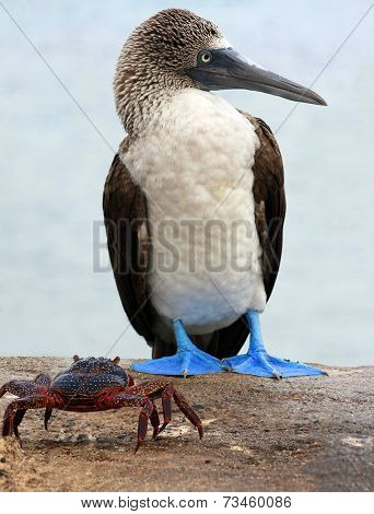 Blue Footed Booby and Crab