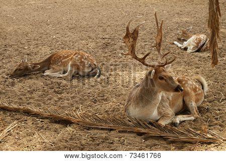 Three Deer Resting