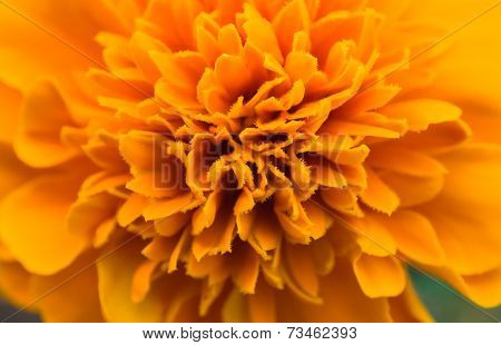 African Marigold Flower Orange