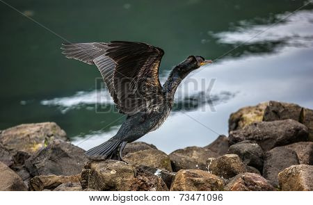 Great Cormorant In Seydisfjordur5