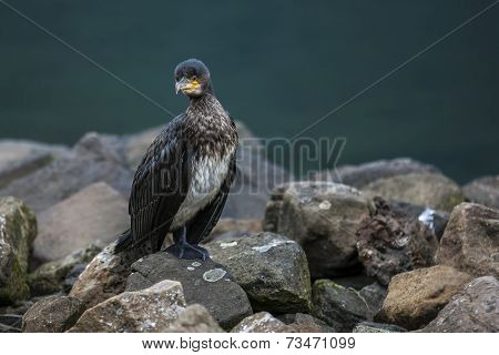 Great Cormorant In Seydisfjordur7