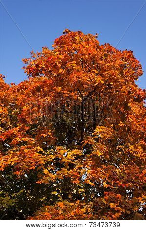 Fall Leaves On A Tree