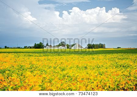Soybean Field in Late Summer