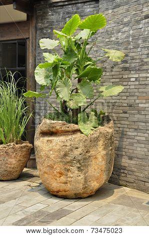 Elephant ear plant (Colocasia)