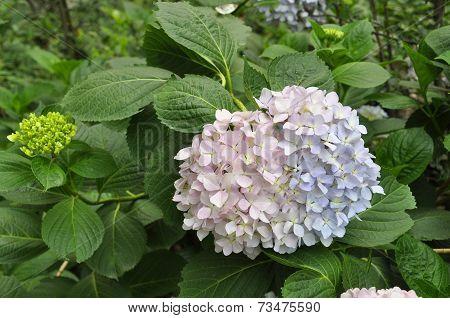 Hydrangea (Fam; Hydrangeaceae)