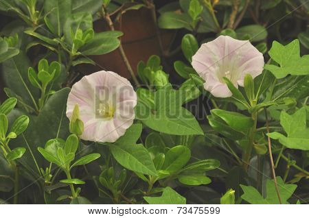 Morning Glory (fam; Convolvulaceae)