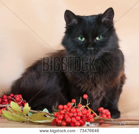 Black Cat Lies On Yellow Background Next To The Berries Of Mountain Ash