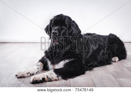adult Newfoundland dog