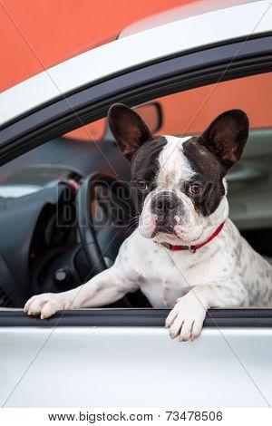 French bulldog inside the car