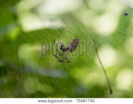 Spider In Its Spiderweb
