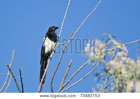 Black-billed Magpie Perched In A Tree