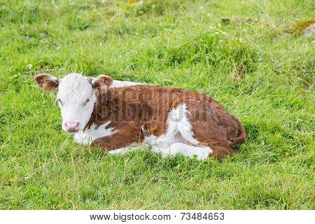 Lying Bull-calf