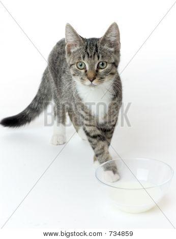 cat with milk