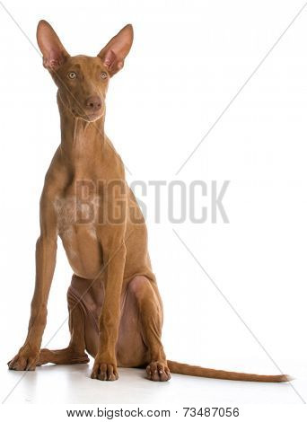 pharaoh hound sitting on white background