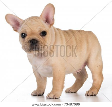 cute puppy - french bulldog puppy standing looking at viewer - 7 weeks old