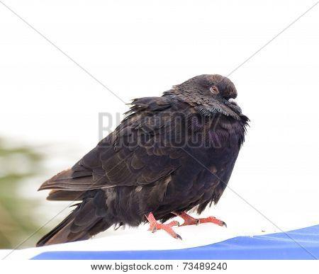 Ruffled dove