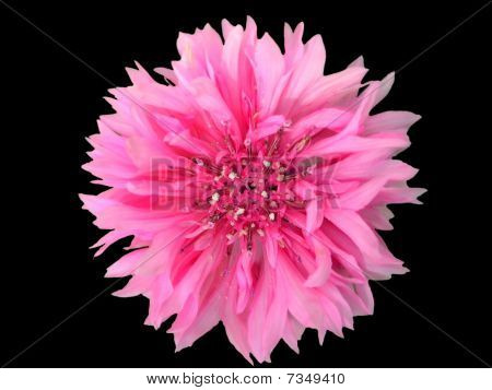 Pink Cornflower On Black