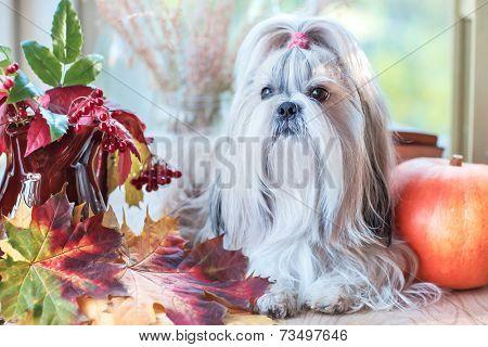 Shih tzu dog with pumpkin and plants.