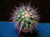 pic of mother law  - Echinocactus grusonii - JPG