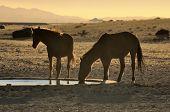 stock photo of wild horses  - Silhouette of Wild Horses of the Namib drinking at sunset near Aus Namibia - JPG