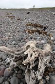 stock photo of driftwood  - driftwood on the pebbled beach in county Kerry Ireland with a cow looking from the background - JPG