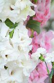 image of gladiolus  - beautiful bouquet of white gladioluses - JPG
