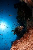 picture of lion-fish  - beautiful lion fish - JPG
