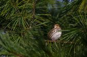 stock photo of ovenbird  - Ovenbird perched on a branch of a Pine Tree - JPG