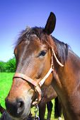 picture of brown horse  - Brown horse - JPG