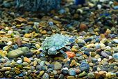 picture of creeping  - Photo of a small green creeping terrapin