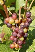 stock photo of moselle  - Bunch of grapes in the autumn - JPG