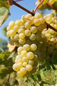 foto of moselle  - Bunch of grapes in the autumn - JPG
