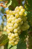 image of moselle  - Bunch of grapes in the autumn - JPG