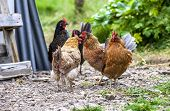 foto of iceland farm  - Colorful rooster on green background at the farm in Iceland - JPG