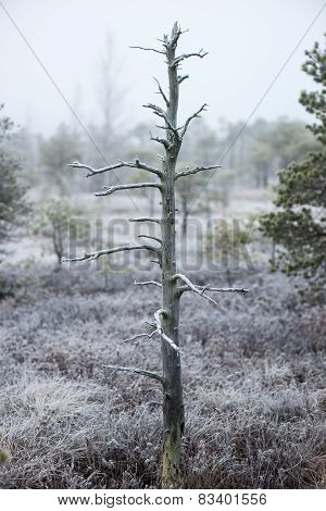 Lonely Tree In Frosty Winter Bog