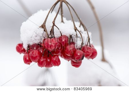 Red Berries In The Snow With Frost