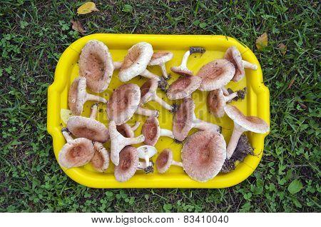Tray Full Of Mushrooms ( Lactarius Torminosus) On Grass