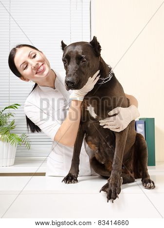 Staffordshire Terrier on inspection at the veterinarian