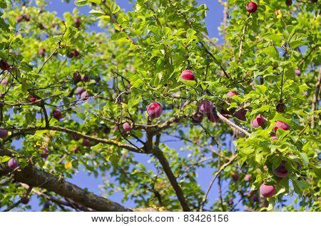 Growing Bio Fruits In The Northern Bulgaria