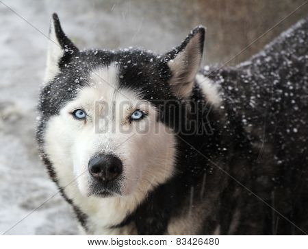 Portrait Of Dog Husky