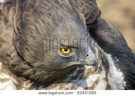 Short-toed Snake Eagle (circaetus Gallicus)