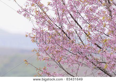 Thai Sakura
