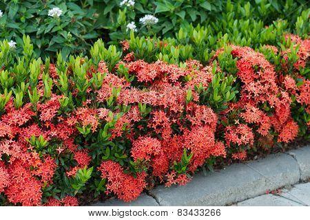 Red Ixora coccinea