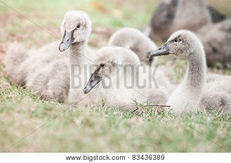 Goslings On Grass