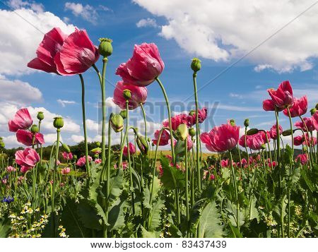 Close Up Of Pink Opium Poppies