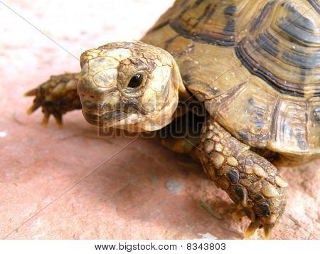 Turtle On The Sidewalk In Motion