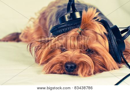 Cute Dog Listen To Music