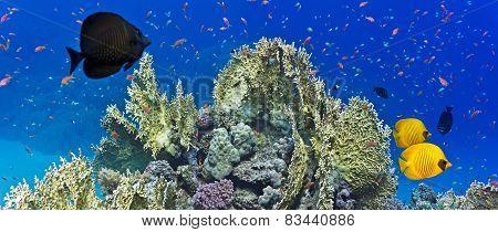 Colal reef scene - panorama
